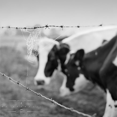 Holstein cows looking through a fence with a dewdropped laced cobweb stretched between strands of a barbed wire in B&W.