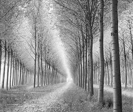 Rows of birch trees receding into the distance in perspective with soft light entering the scene from all angles.