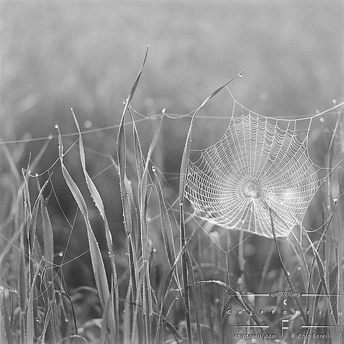 A closeup of a cobweb suspended from blades of grass and decorated with dewdrops surrounded by grasses in black and white.