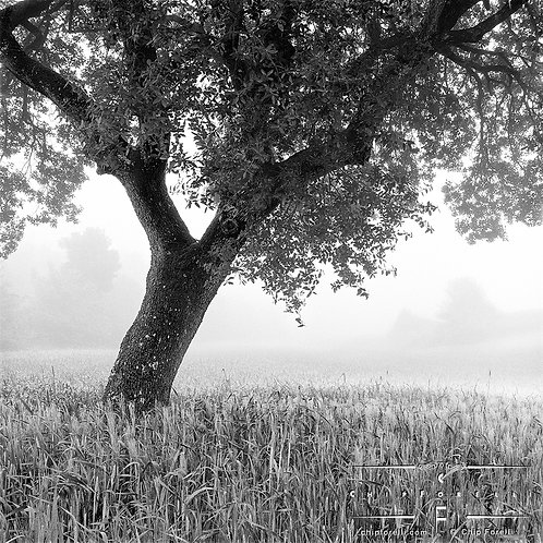 A single dark tree in a field of light grasses with fog shrouding the landscape in the background.