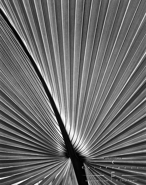 Close up showing the geometric pattern of the underside of a palm frond in black and white.