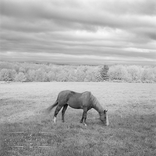 Scene in B & W of mainly grey tones of a single horse grazing in broad field with only its head and tail showing movement.