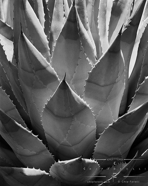 A graphic close up photograph up in black and white of an agave plant with sunlight highlighting the thorny leaf edges.