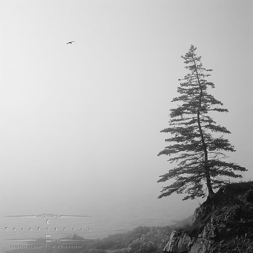 An fir tree on a rocky, foggy coastline with a broad sky and seagull in black and white.