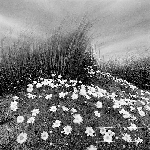 A sand dune with a clump of beach grasses in motion surrounded by flowers growing out of the sand.