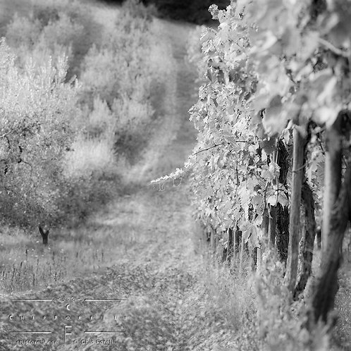 A single grapevine protruding from a line of grapevines receding in perspective into the distance in black and white.