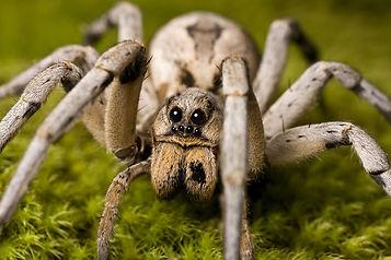 wolf-spider-large.jpg
