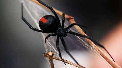 black-widow-spider.jpg