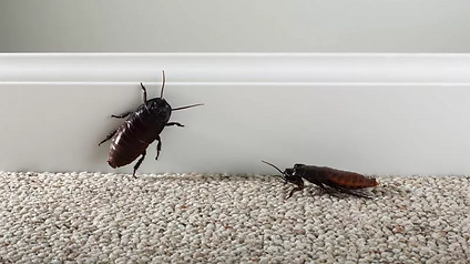 amcockroach.png