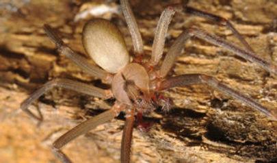 brown-recluse-spider.jpg