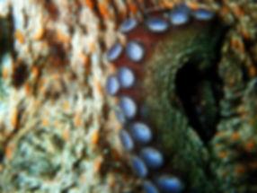 pulpo ventosas galicia octopus vulgaris