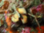 cangrejo araña esponja marina