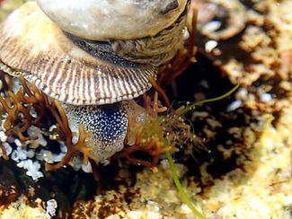 Siphonaria pectinata Lapa lisa