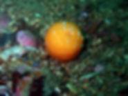 zenoiro coral blando cnidario veretillum cynomorium