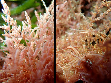 alga roja arpón Asparagopsis armata