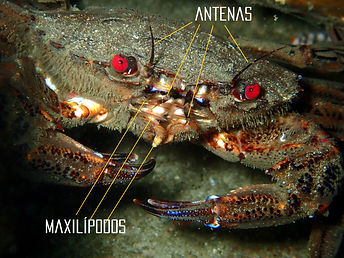 necora antenas