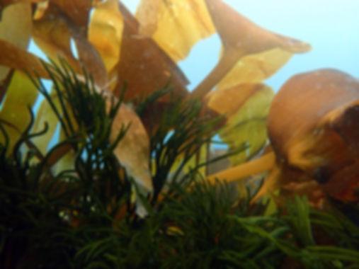 algas galicia ría de vigo
