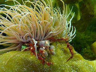 anémona común cnidario Anemonia viridis