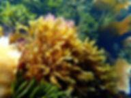alga parda lanceolada Dictyopteris polypodioides