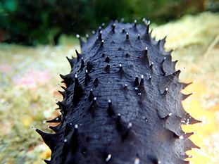 pepino de mar holoturia negra forskali