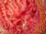 Actinia fragacea anémona fresa