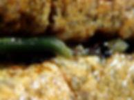 gusano anélido poliqueto verde Eulalia viridis