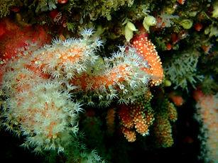 dedo rojo coral blando cnidario alcyonium glomeratum