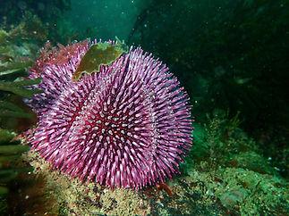 erizo de mar Sphaerechinus granularis