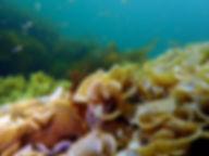 alga parda cola de pavo Padina pavonica