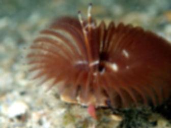 gusano anélido poliqueto tubícola Megaloma vesiculosum