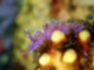 Edmundsella pedata nudibranquio