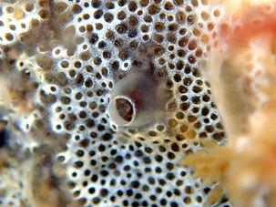 ascidia esponja Diplosoma spongiforme