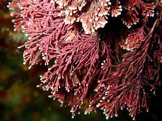 Jania rubens corallina algas rojas