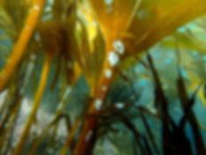 Saccorhiza polyschides laminaia briozoo membranipora membranacea