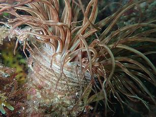 anémona tubo cerianto pachycerianthus