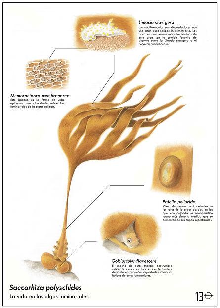 Saccorhiza polyschides-PRUEBA 1.jpeg