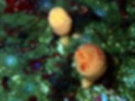 Suberites carnosus esponja seta
