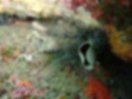 gusano anélido poliqueto tubícola bispira volutacornis
