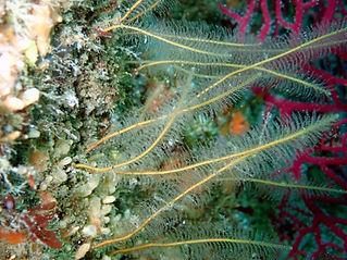 barba de mar cnidario hidrozoo Nemertesia antennina