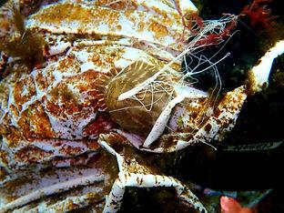 Calliactis parasitica anémona de ermitaño