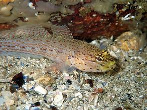 gobio cabeza dorada Gobius xanthocephalus
