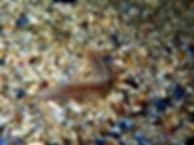 gusano anélido poliqueto Glycera sp.