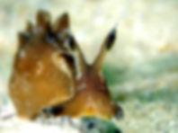 liebre de mar aplysia punctata