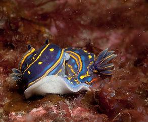 nudibranquios puesta