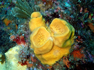 esponja tubo amarillo Tedania urgorrii