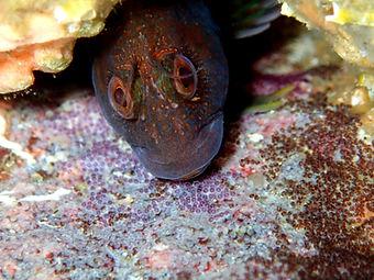 blenio barriguda parblennius pilicornis