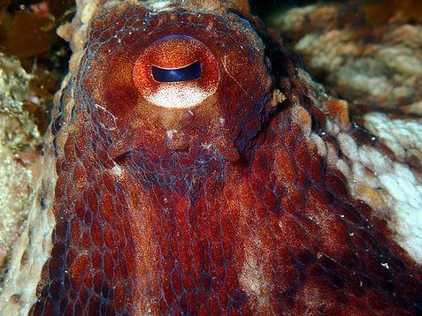 pulpo galicia octopus vulgaris