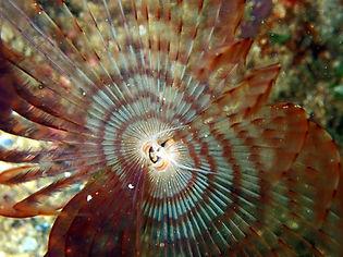 gusano anélido poliqueto tubícola espirógrafo Sabella pavonina