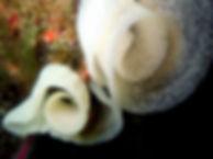 huevos nudibranquio