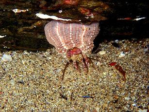 Aulactinia verrucosa P3090367b.JPG